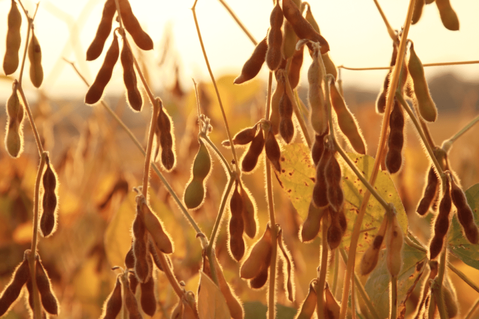 Soybean Prices Fall on Huge South American Crop. Argentina Weather Critical Next Few Weeks