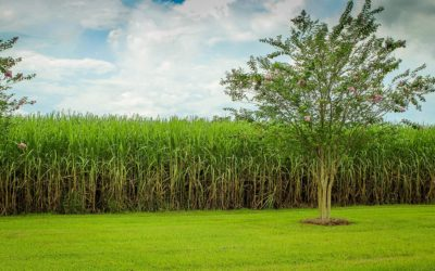 Sugar Prices Less Sweet, Matching Similar Deficit Years Predicted Last October