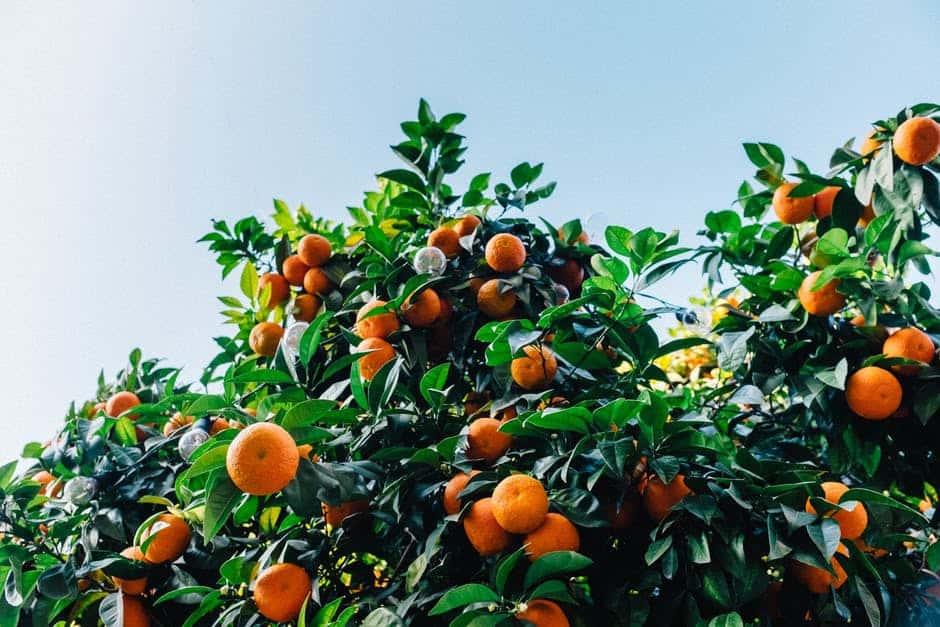 Poor Demand for OJ vs Florida Citrus Canker. What Else Influences OJ Prices?