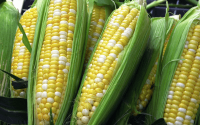 Will Corn Prices Continue to Gain Against Sagging Wheat? Frost Scares for U.S. Wheat?