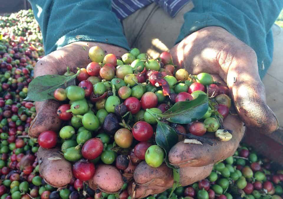 Coffee futures plunge on Brazil harvest, ample stocks