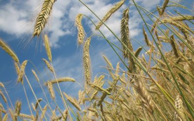 Spring Wheat makes new highs, while other wheats sag