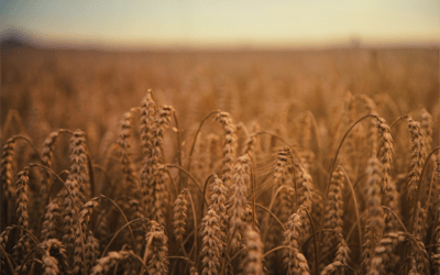 Growing Bull Market in Wheat on Global Weather; other Grains to Follow?
