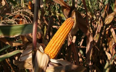 Weather Pattern Shift and Why Are Corn Prices Breaking Even with Some Drought Conditions