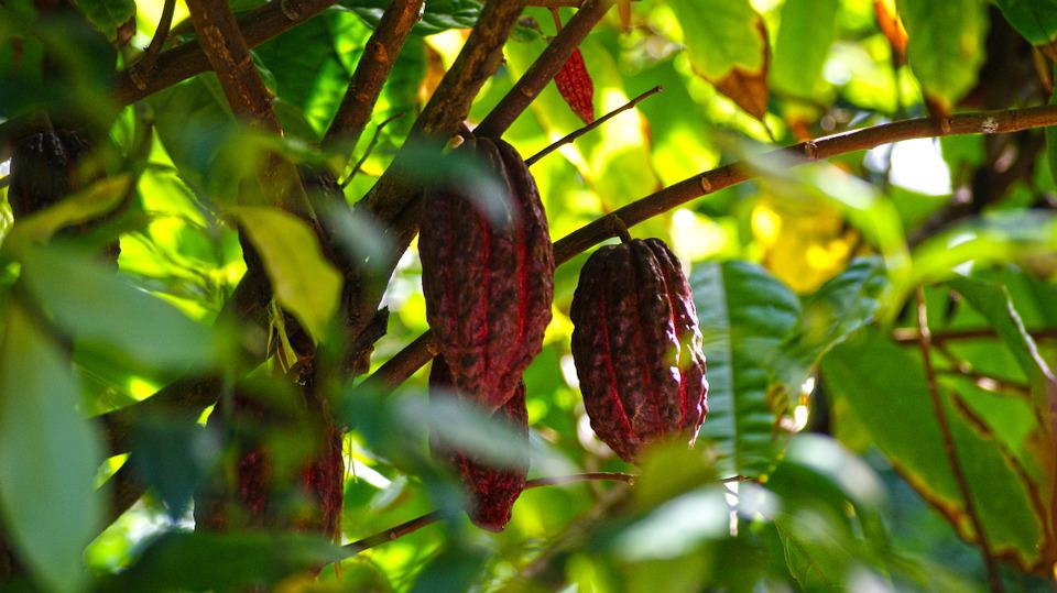 Cocoa prices have rallied; will they break out of summer range?