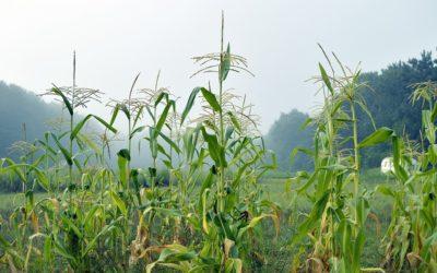 USDA report and beneficial Brazil rainfall weaken corn prices
