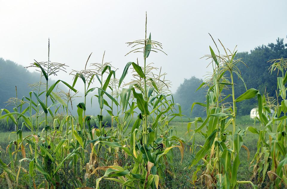 USDA report and beneficial Brazil rainfall weaken corn prices