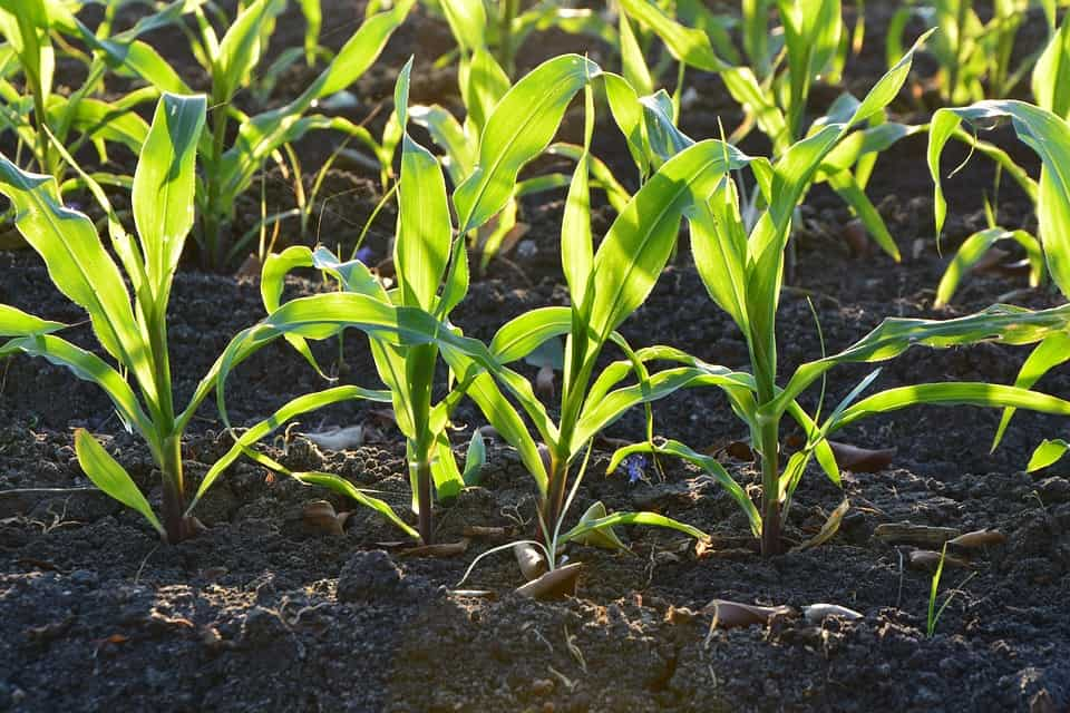 Initial Corn Conditions Increase Chances For Poor Yields