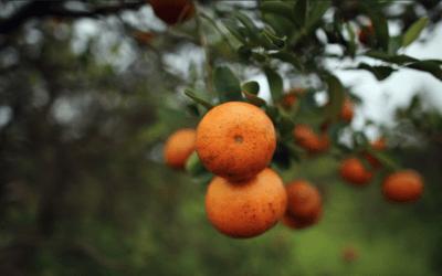 Brazil's October drought and 'citrus greening' help orange juice prices soar