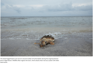 Florida's Red Tide: Possible causes, Who's to blame? Implications to humans and how it can be resolved