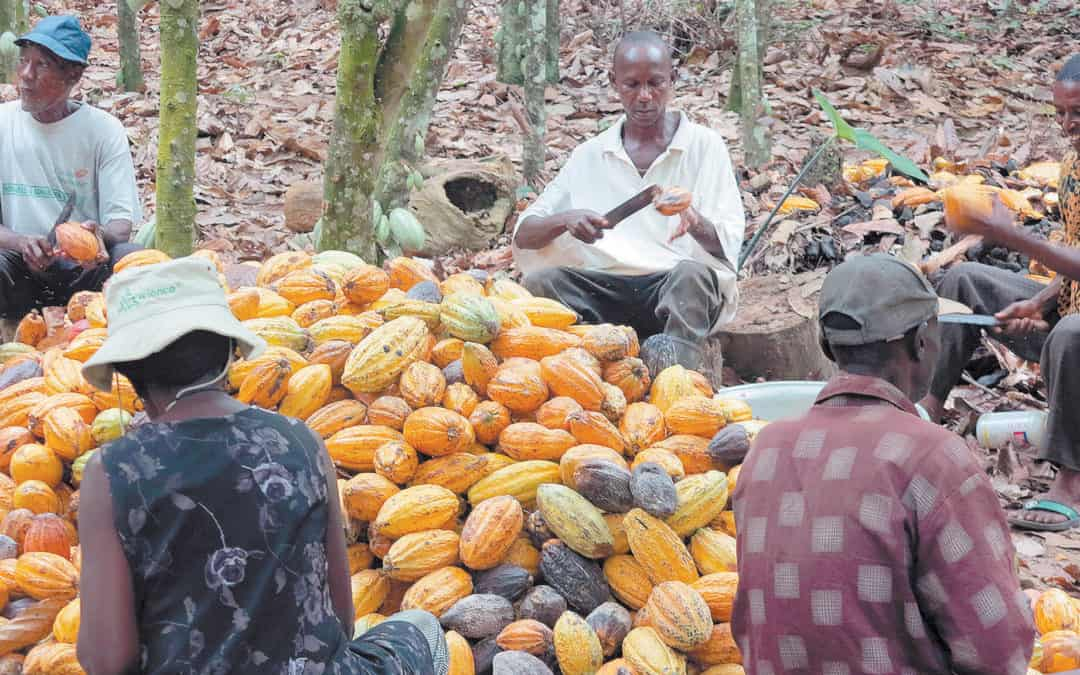 Is The West African Harmattan Impacting Cocoa Yields?