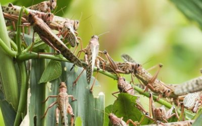 Wet Weather And Climate Change Could Be Responsible For The New Swarm Of Locusts