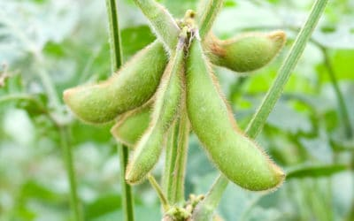 Why Have Soybean Prices Bucked The Bearish Trend of Most Commodities?