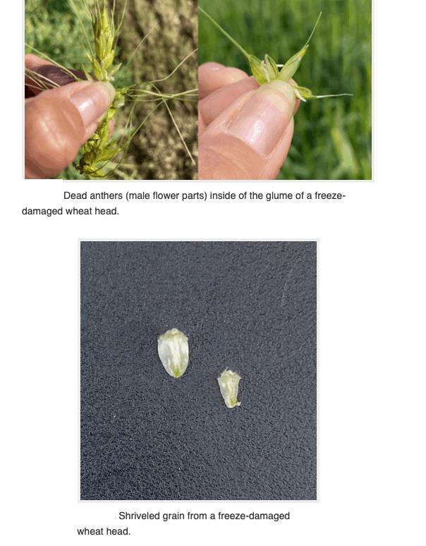wheat damage from freezes