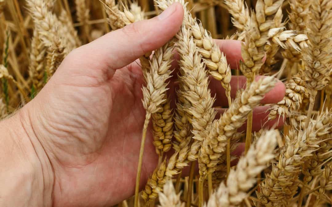 Weather Driving Wheat Market: Russia