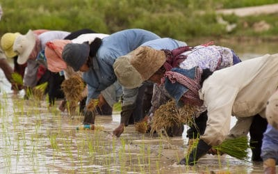ASIAN RICE PLANTING SLOWED BY COVID-19?