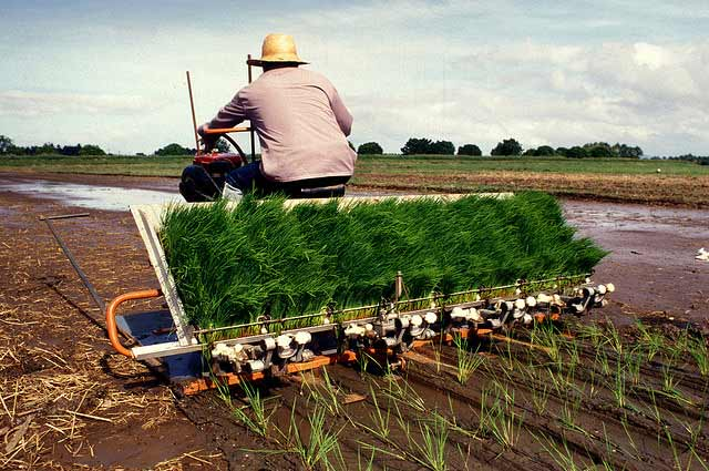 Mechanized rice transplanting.