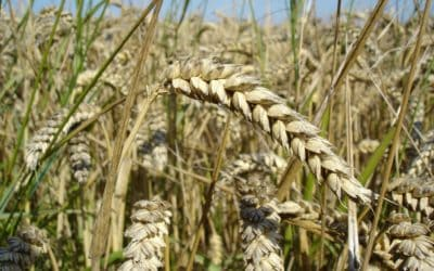 The Collapse in Grain Prices