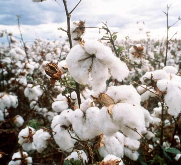 Locusts, COVID, Economy: What Impacts Cotton?
