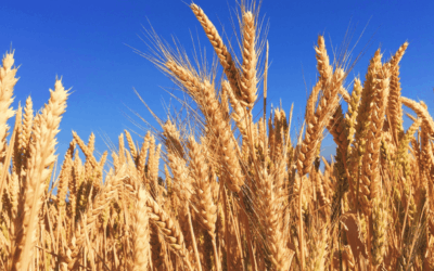 How the arctic pig (Polar Vortex) is hurting wheat crops around the world