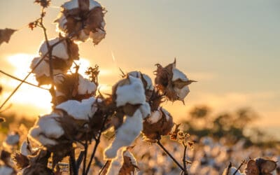 Why the drought will ease for Texas cotton farmers