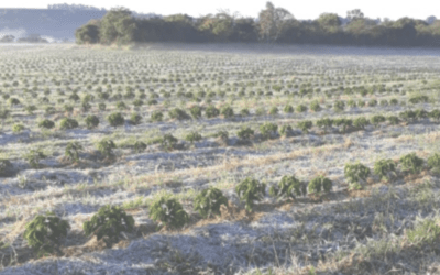 COFFEE FROST UPDATE AS SPRING WHEAT PRICES SOAR ON GLOBAL WEATHER PROBLEMS